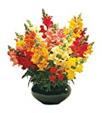 Burpee Cinderella Mixed Colors Snapdragon Seeds 500 seeds