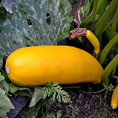 Golden Zucchini Summer Squash Garden Seeds - Non-GMO, Heirloom - Vegetable Gardening Seed