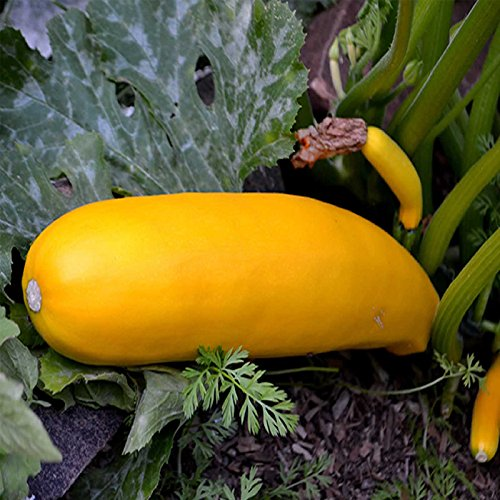 Golden Zucchini Summer Squash Garden Seeds - 5 Lbs - Non-GMO, Heirloom - Vegetable Gardening Seed by Mountain Valley Seed Company