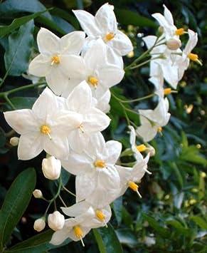 Solanum laxum album white climbing plant agm amazon solanum laxum album white climbing plant mightylinksfo