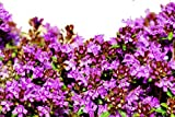 1,000 Creeping Thyme Seeds - Breckland Thyme, Wild Thyme, Ground Cover Thyme, Thymus Serpyllum