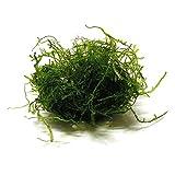 SubstrateSource Taxiphyllum barbieri Java Moss Live Freshwater Aquarium Plant