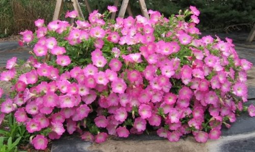 100 PINK PETUNIA Flower Seeds - Mail Tracking International Us