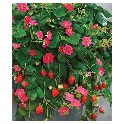 Clovers Garden Toscana Strawberry Plant- Two (2) Live Plants – Not Seeds – in 3.5 Inch Pots : Garden & Outdoor
