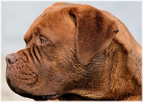 (Quality Prints - Laminated 33x24 Vibrant Durable Photo Poster - Dogue De Bordeaux Harley Dog Pet Purebred Canine Friend Bark Growl Puppy Companion Animal Domesticated Vet Obedient Striking Strong)