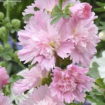 Lot De 5 Alcea Rosea Rose Tremiere Spring Celebrities Pink Amazon