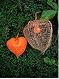 50+ CHINESE LANTERN FLOWER SEEDS / UNIQUE / PHYSALIS ALKEKENGI / PERENNIAL
