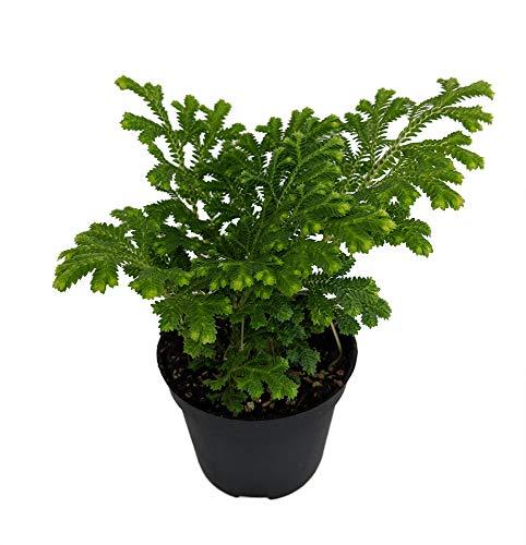 Frosty Fern Spike Moss - Selaginella - Easy to Grow - 2.5