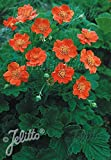 Geum coccineum borisii strain 1,000 seeds