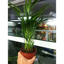 "Live Areca Palm Plant Fit 4"" Pot - Foliage Houseplant - Easy to Grow"