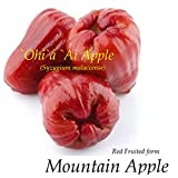 RED Mountain Apple Fruit Tree Syzygium malaccense Ohi'a Ai Apple Med Size Plant