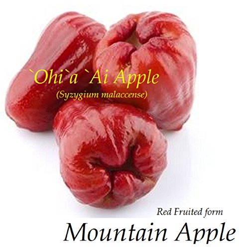 Mountain Apple (RED Mountain Apple Fruit Tree Syzygium malaccense Ohi'a Ai Apple LIVE sml Plant)