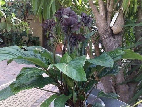 Amazon Com Tacca Chantrieri Black Bat Flower Live Plant