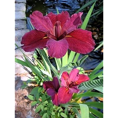 POND PLANT, IRIS RED VELVET ELVIS : Garden & Outdoor