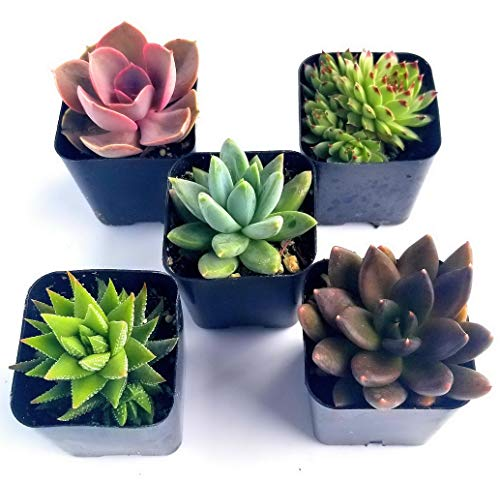 Kaputar Succulent Plants in Planters with Soil - Living Succulents in 2 Inch Plastic Pots Variety Packages   Model WDDNG -894   2 Inch