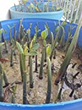 20 LIVE Mangroves - Red Mangrove Seedlings - Filtration, Aquarium, Reef, Tank, Saltwater, Aquatic, Plants
