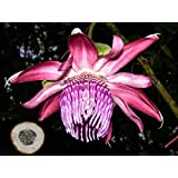 VERY RARE * Passiflora Ambigua * Collector Rare Passion Fruit Flower * Fresh 3 Vine Seeds *