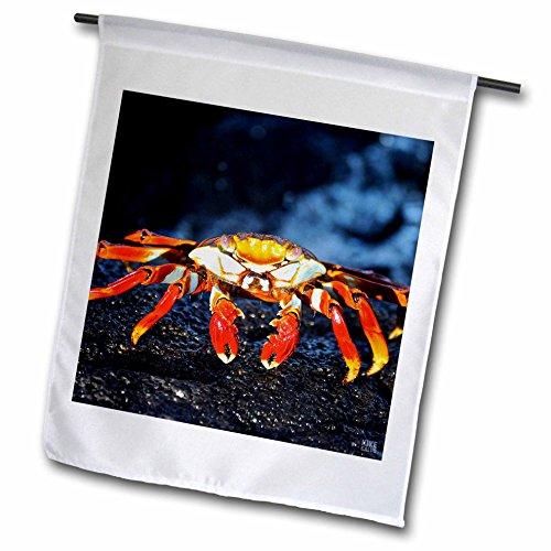 3dRose fl_10134_1 Sally Lightfoot Crab, Grapsus, Santiago Islaislandnd Galapagos Garden Flag, 12 by 18-Inch