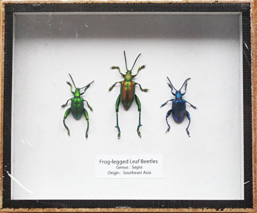 SET 3 REAL FROG LEGGED LEAF BEETLES SAGRA INSECT TAXIDERMY SET IN BOX DISPLAY by Thaitaxicraft