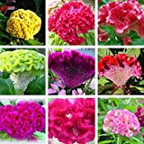 Wintefei 100 Pcs Mix Color Celosia Crested Cockscomb Seeds Garden Easy Growing Flower