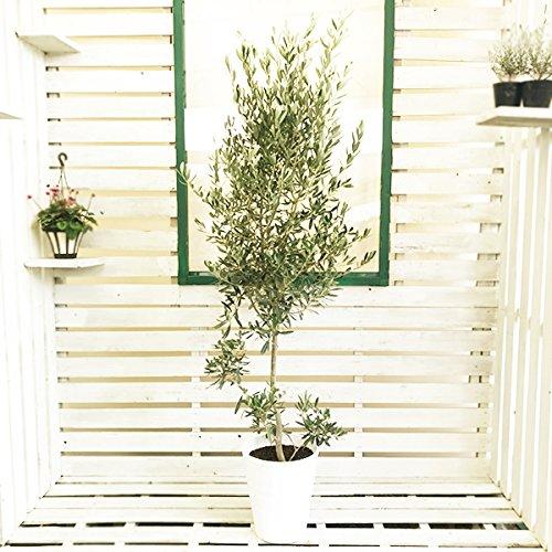 オリーブの木 10号 ホワイトセラアート鉢 大鉢 大型 インテリア 庭木 鉢植え ガーデニング インテリア 観葉植物 大サイズ 本物 10号 B07925D87S