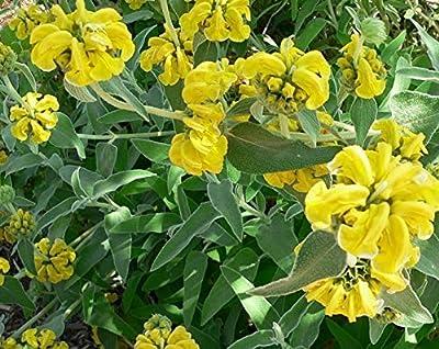 15 Seeds sage Jerusalem Method bio Seeds of Perennial Flowers