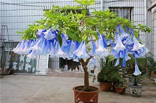 Brazil/'s Angel Trumpet Tree Small Shrub Brugmansia Suaveolens White 10 Seeds