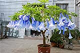 100 pcs/bag brugmansia datura seeds, dwarf brugmansia Angel Trumpets bonsai flower seeds,rare potted plant for home garden 15