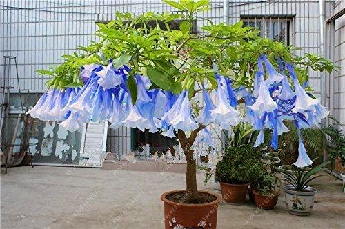 Brugmansia Angel Trumpet - 100 pcs/bag brugmansia datura seeds, dwarf brugmansia Angel Trumpets bonsai flower seeds,rare potted plant for home garden 15