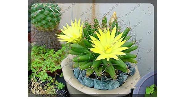 200 unids/bolsa Rare Cactus bonsai Colores Mezclados plantas de Flores Resistencia Seca Hermosa Bonsai Planta Bonsai Para Jardín de Origen: Verde: ...