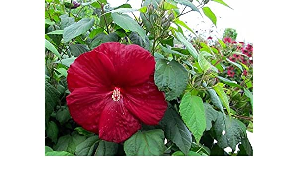 Amazoncom Hibiscus Moscheutos Luna Red Swamp Rose Mallow 10