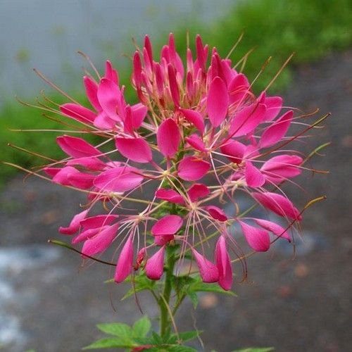 Cleome Rose Queen Flower Seeds (Cleome Hassleriana) 50+Seeds - Cleome Rose Queen