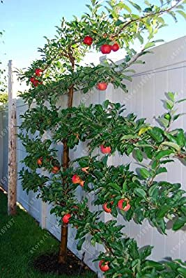 HOO PRODUCTS - Climbing Bonsai Dwarf Apple Seeds Fruit Seeds Perennial Tree Seeds,Garden In Flower Pots Planters 30 seeds/Pack Hot Sale!