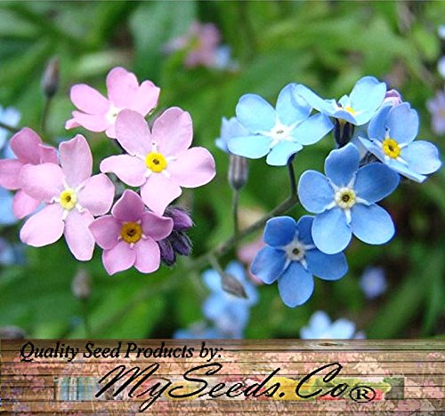 BIG PACK - (10,000) MIXED Pink, Blue, White FRENCH FORGET ME NOT, Myosotis sylvatica Flower Seeds - PERENNIAL ZONE 3-9 By MySeeds.Co (BIG PACK French MIXED)