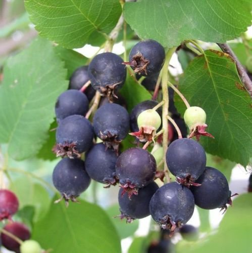 Saskatoon Serviceberry, Amelanchier alnifolia, Seeds (Edible, Fall Color, Hardy) 30