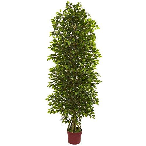 Ficus Bush - 2