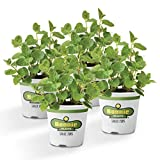 Bonnie Plants Spearmint Live Edible Aromatic Herb Plant, Pet Friendly, Low Light, Part Shade, Great for Indoors- 4 Pack