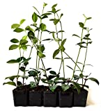 9Greenbox Jasmine Confederate Starter Plants, 4 Pound (Pack of 10)