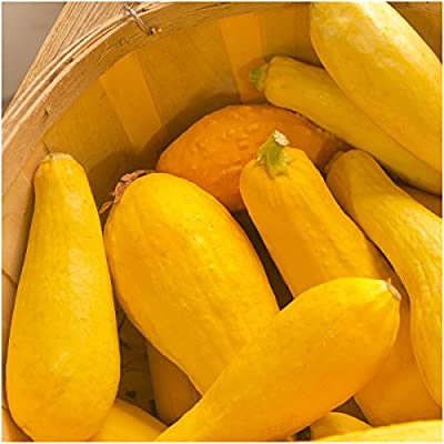 Package of 45 Seeds, Early Prolific Straightneck Summer Squash (Cucurbita pepo) Non-GMO Seeds by Seed Needs