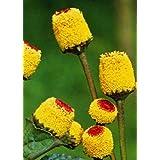 TROPICA - Paracress (Acmella oleracea) - 500 Seeds - Herbs