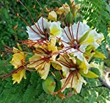 Delonix elata | White Poinciana | Yellow Gul Mohur | Creamy Peacock | 10_Seeds