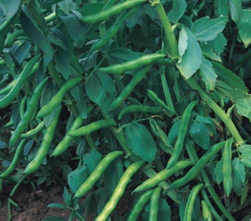 Just Seed - Vegetable - Broad Bean - Aquadulce - 80 Seeds