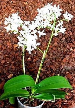 1 bl/ühf/ähige Orchidee der Sorte Dendrobium phalaenopsis 12-13cm Topf