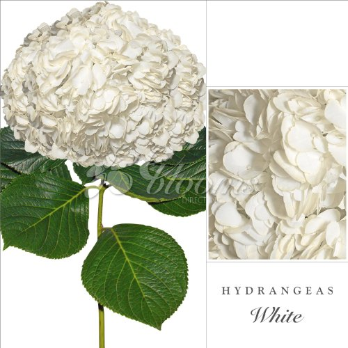fresh-cut-hydrangeas-select-pack-30-white