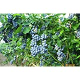 50 NORTHERN HIGHBUSH BLUEBERRY BUSH Fruit Seeds Pre Stratified *Comb S/H