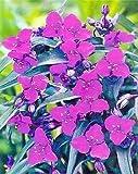 Concord Grape Spiderwort - Tradescantia - Unique - Quart Pot