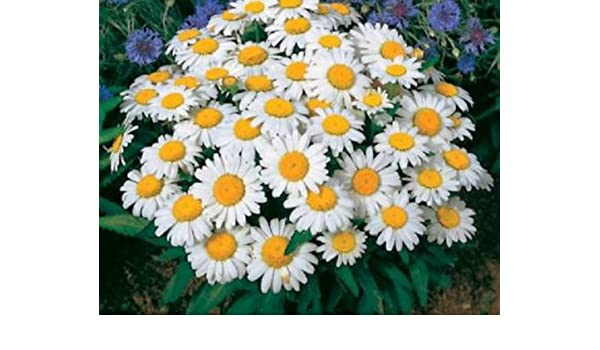 Amazon Shasta Daisy 300 Seeds Beautiful White Flowers With A