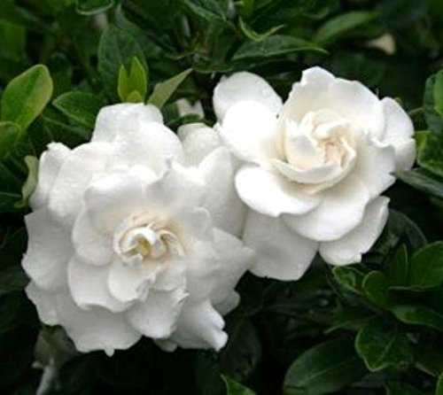 Crown Jewel Dwarf Gardenia - Live Plant - Trade Gallon Pot