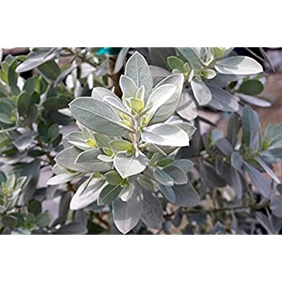AMERICAN PLANT EXCHANGE Silver Buttonwood Live Plant, 3 Gallon, : Garden & Outdoor