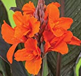 Orange Chocolate Flowering Canna Lilies Roots/bulbs/rhizomes/plants Nice Size